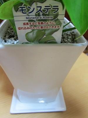 観葉植物 モンステラ 通販
