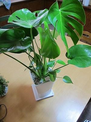人気観葉植物モンステラ